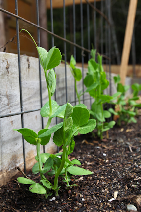 Snap Peas in the garden